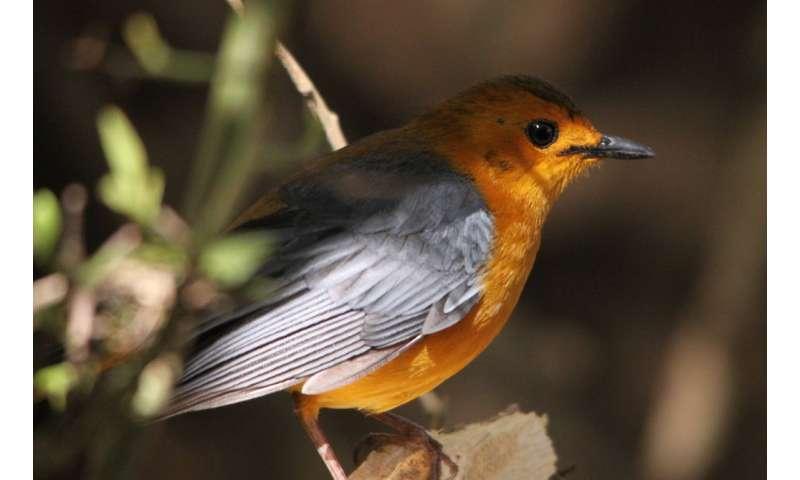 Meet africa's bird master of vocal imitation
