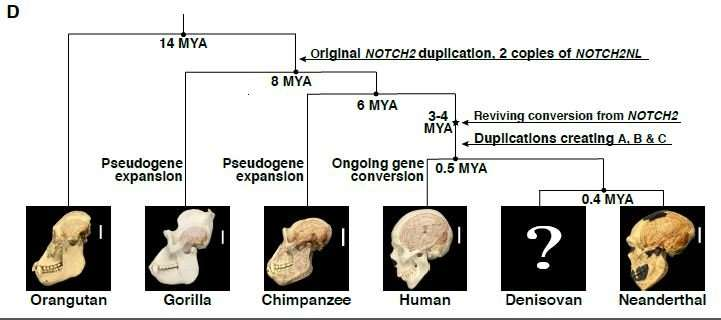 If Genes Dont Turn Off Brains Wiring >> Meet Notch2nl The Human Specific Genes That May Have Given