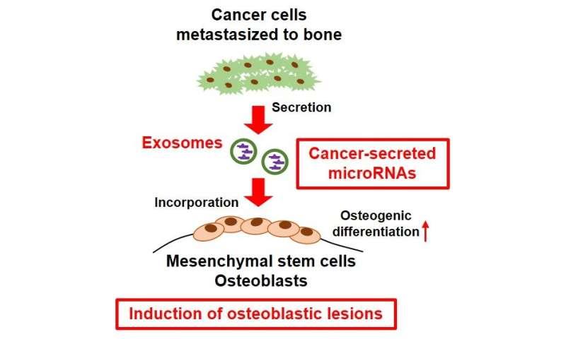 Metastatic cancer cells modify bone remodeling with small RNA secretion in bone metastasis