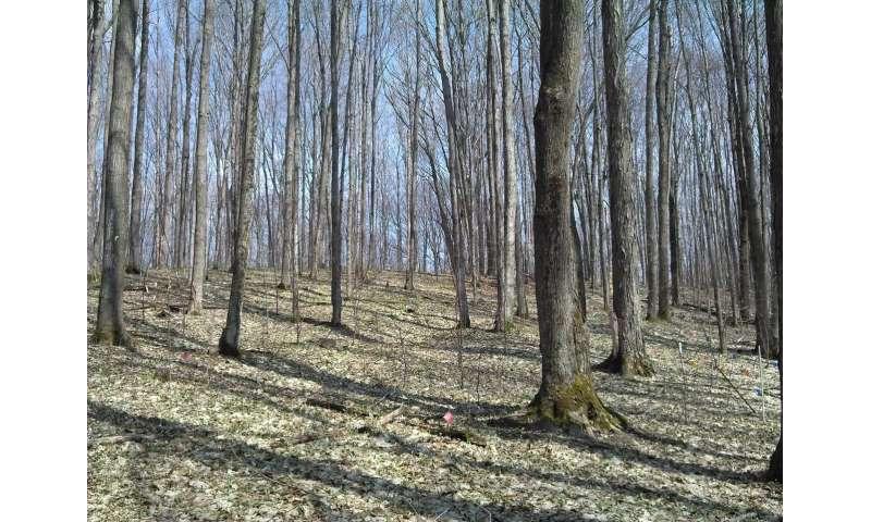 Michigan's sugar maples will struggle in a warmer, drier future despite help from nitrogen pollution