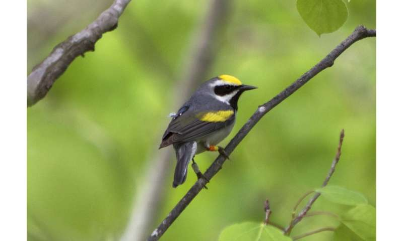 Migration research reveals key to declines in rare songbirds