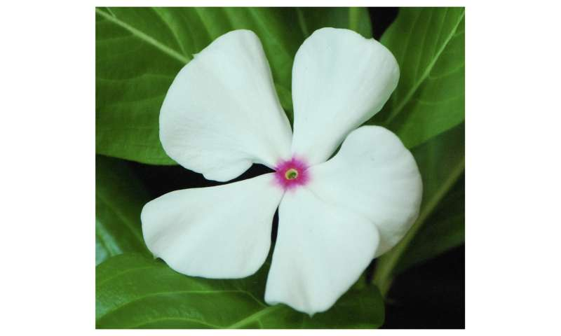 Milestone research on Madagascar periwinkle uncovers pathway ...