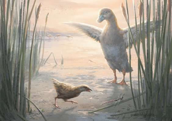 Miniscule flightless birds have lived in New Zealand's wetlands for millions of years