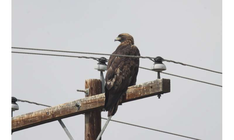 Mitigation techniques fall short of preventing electrocution of golden eagles on power poles