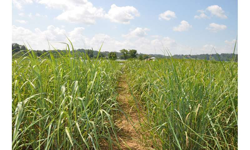 Modified switchgrass has no negative effect on soils