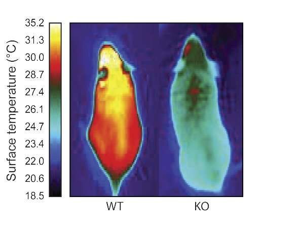 Molecule that gives energy-burning brown fat its identity could lead to drugs for obesity