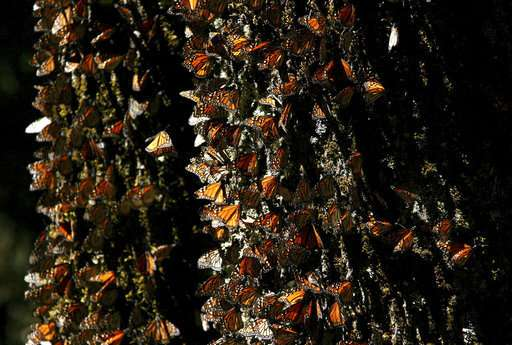 Monarch butterfly numbers off for 2nd year in Mexico