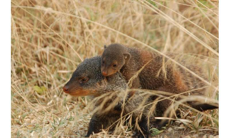 Mongooses inherit behavior from role models rather than parents