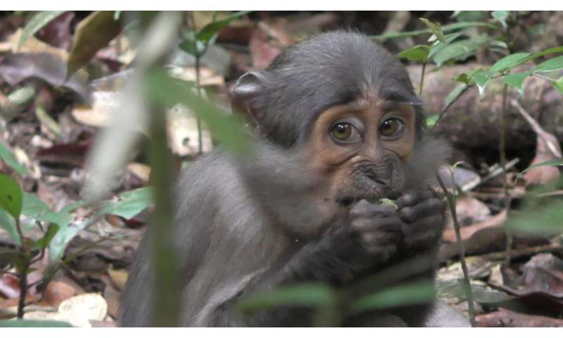 Monkeys benefit from the nut-cracking abilities of chimpanzees and hogs