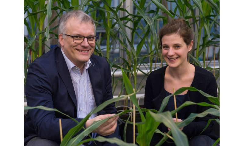 More genes are active in high-performance maize