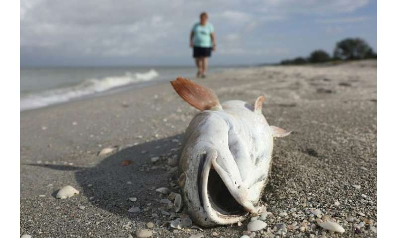 More than 100 tons of dead sea creatures have washed ashore beaches along Florida's Gulf coast, victims of the worst red tide in