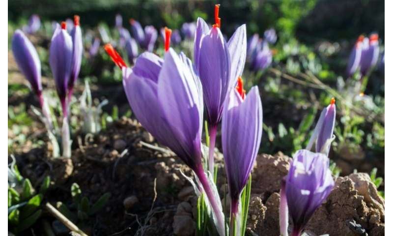 Morocco is the world's fourth largest producer of saffron, behind Iran, India and Greece, according to FranceAgriMer, France's s