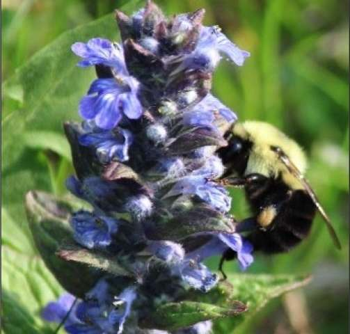 Mowing the lawn less often improves bee habitat