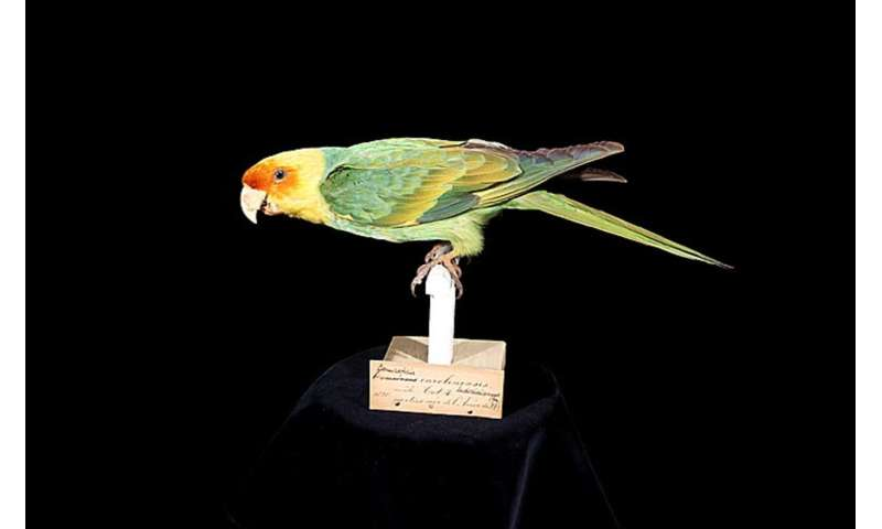 Museum collection reveals distribution of Carolina parakeet 100 years after its extinction