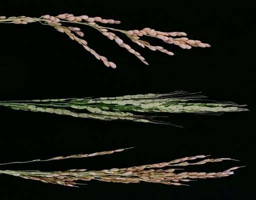 Mutation in single rice gene cancels interspecific hybrid sterility