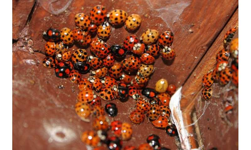 Sti Carrying Cannibal Ladybirds