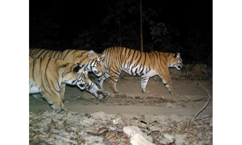 Nepal's tiger numbers hit rock bottom following a decade-long civil war, which ended in 2006, when poachers ran amok across the