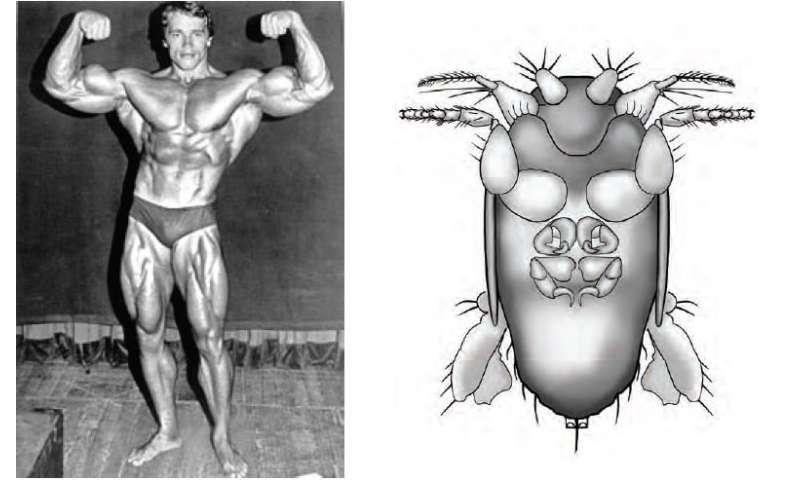 New 'big-armed fly' species named after former California governor Arnold Schwarzenegger