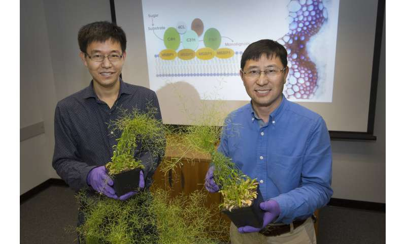 New details of molecular machinery that builds plant cell wall components