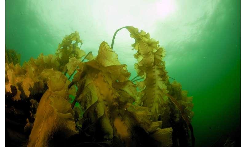 New Gulf of Maine study investigates return of kelp