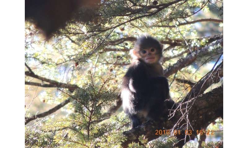 New hope for critically endangered Myanmar snub-nosed monkey