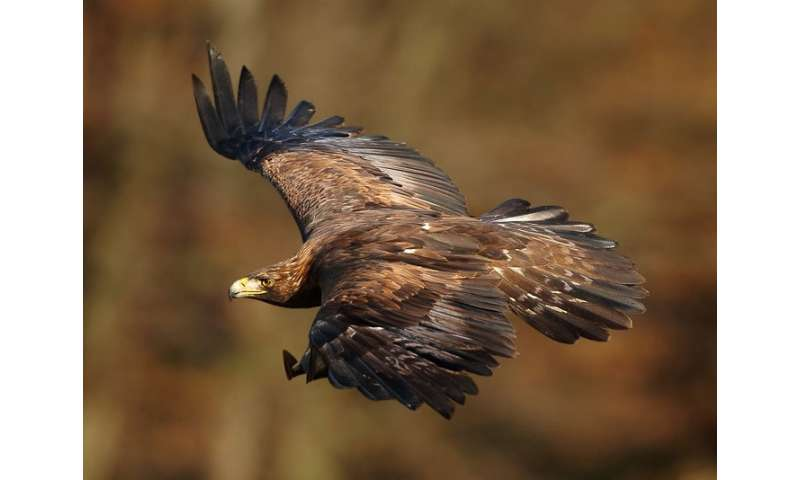 Newly sequenced golden eagle genome will help its conservation