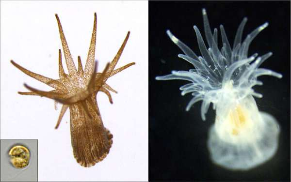 New mutant coral symbiont alga able to switch symbiosis off