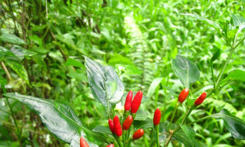 New research illustrates how birds help to produce rare wild chili peppers