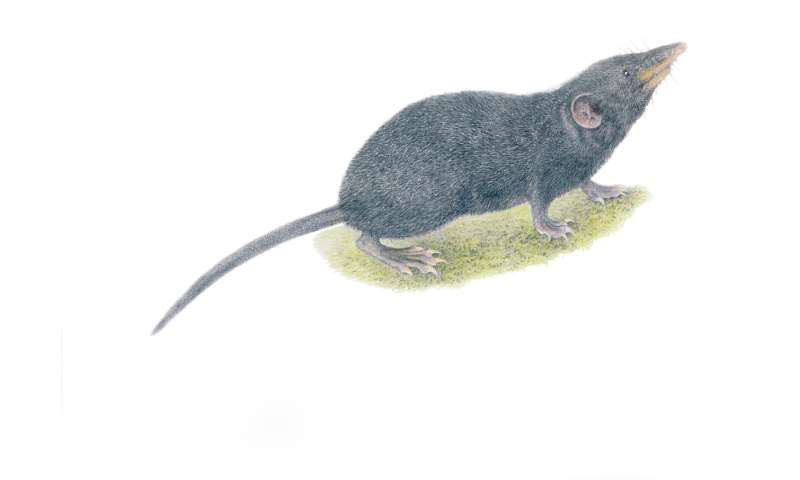 New shrew species discovered on 'sky island' in Philippines