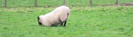 New smart sensor to help farmers spot lameness in sheep