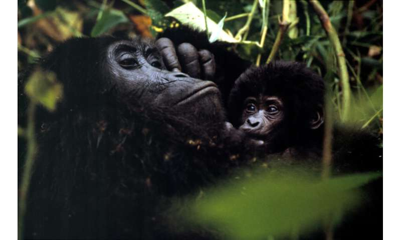 New survey of mountain gorillas underway in Uganda
