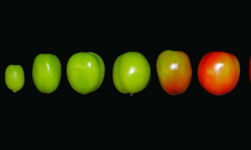 New 'Tomato Expression Atlas' dives deep into the fruit's flesh