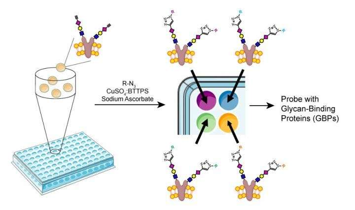 New TSRI method accelerates studies on carbohydrate biology