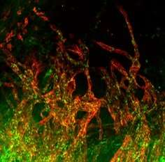 New way to regenerate hearts after a heart attack