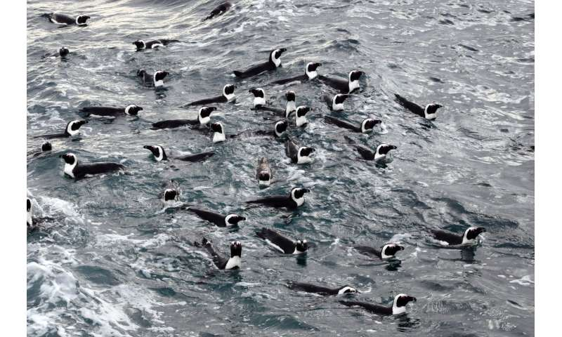 No-fishing zones help endangered penguins