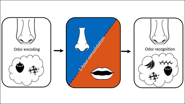 Nose breathing enhances memory consolidation