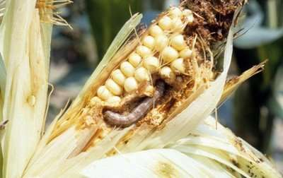 'Nuru' becomes African farmers' newest ally against fall armyworm