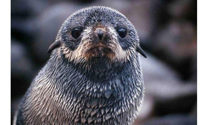 Ocean winds influence seal pup migration