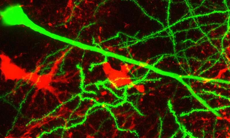 Often overlooked glial cell is key to learning and memory
