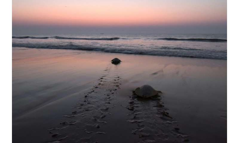 Olive ridley turtles navigate thousands of miles of open ocean to reach Odisha, where they come ashore in numbers not seen anywh