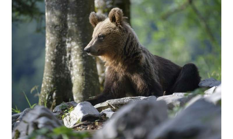 Once on the verge of extinction, Slovenia's brown bear population is booming, with the number roaming the sprawling forests havi