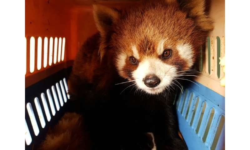 One of three red pandas rescued from traffickers in the Laos city of Luang Prabang, amid fears the rare animals are increasingly