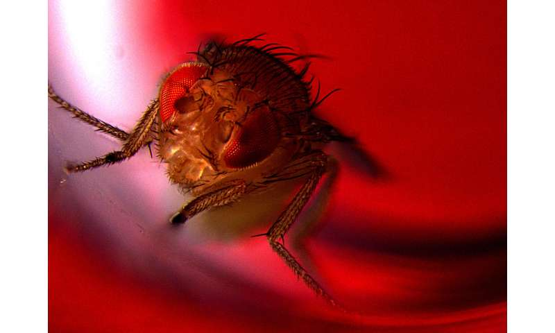 Optogenetic study shows that male flies find ejaculation pleasurable