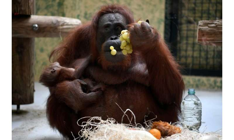 Orangutans are among the world's most endangered species, with just an estimated 50,000 left in their natural habitat in the rai