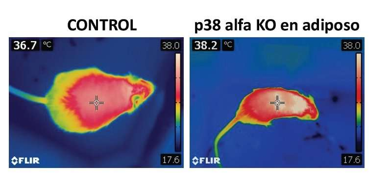 P38 alpha: The switch controlling obesity and diabetes