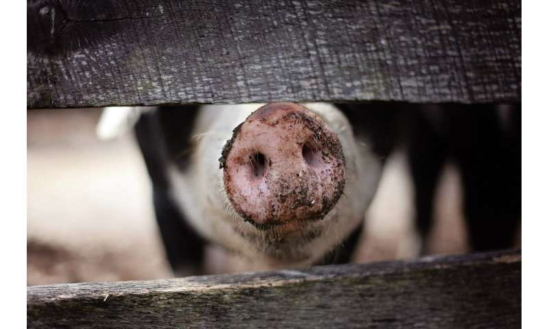 Philippines Still Unknown Disease Prompts Culling Of Pigs