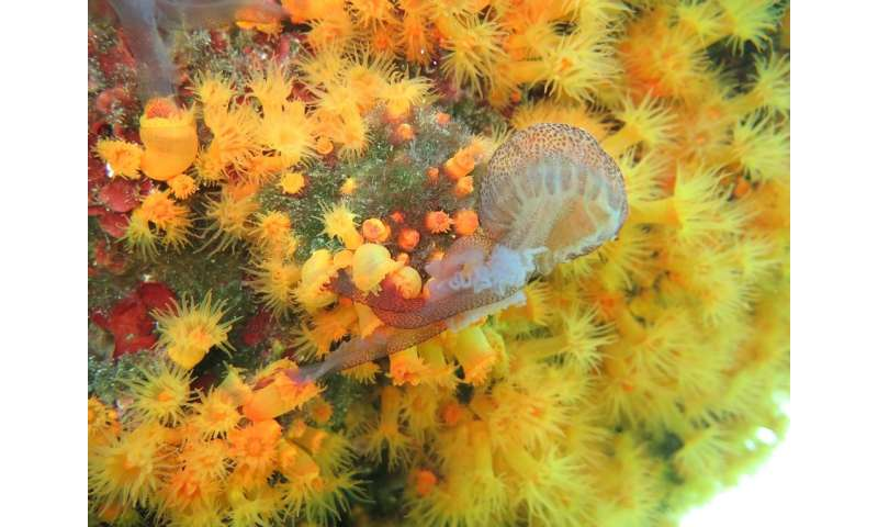 Predatory sea corals team up to feed on stinging jellyfish