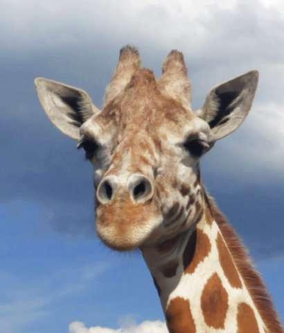 Pregnant again! April the giraffe's calf is due in March