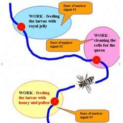 Principles of using of vibro-acoustic markers and communicational signals in the process of bees' lives.