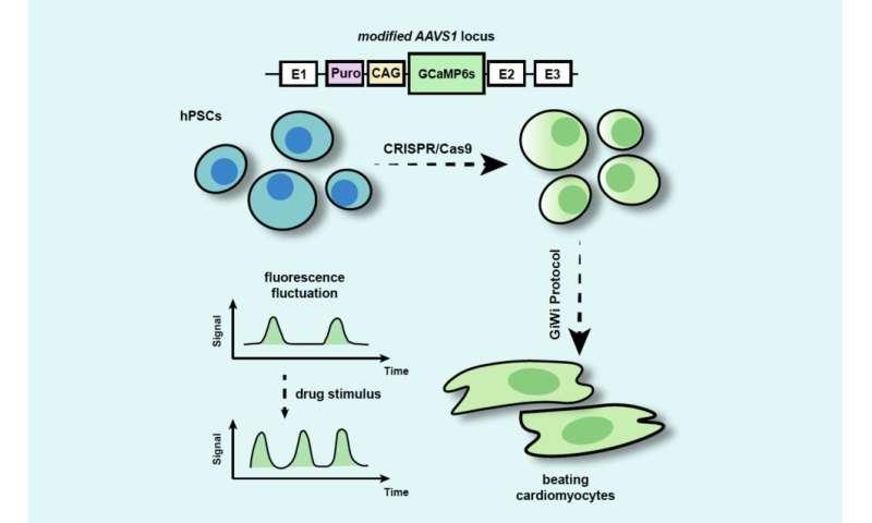 Process makes stem-cell-derived heart cells light up